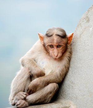 Monkey (Pic Credit: Augustus Binu, CC BY-SA 4.0)